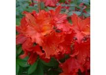 Азалия листопадная  Hotspur Red