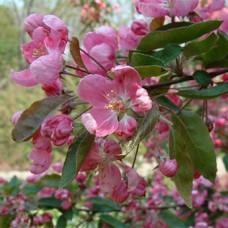 Декоративная яблоня Ola