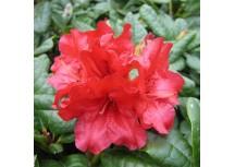 Рододендрон ползучий Scarlet Wonder