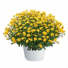 Желтая Бакопа