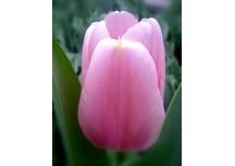 Тюльпан Аlgarve (Алгарве)