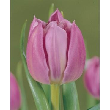 Тюльпан Double Price (Дабл Прайс)