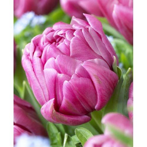 Тюльпаны Double You (Дабл Ю)