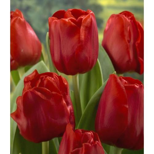 Тюльпаны Escape (Эскейп)