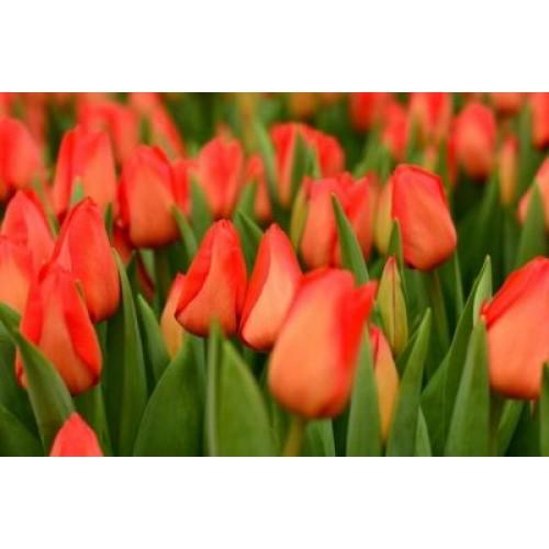 Тюльпан Lalibela (Лалибела)