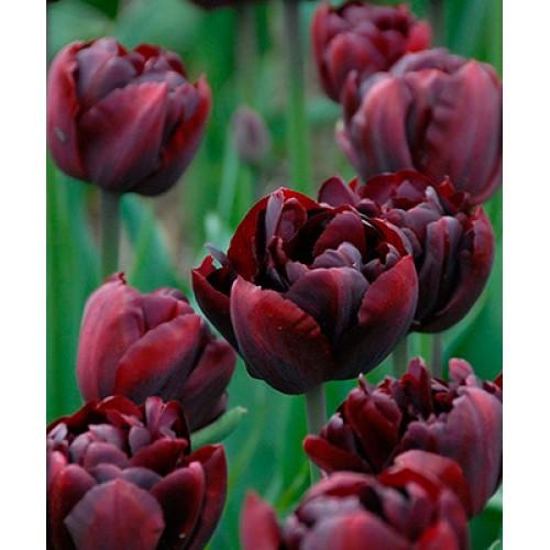 Тюльпан PALMYRA