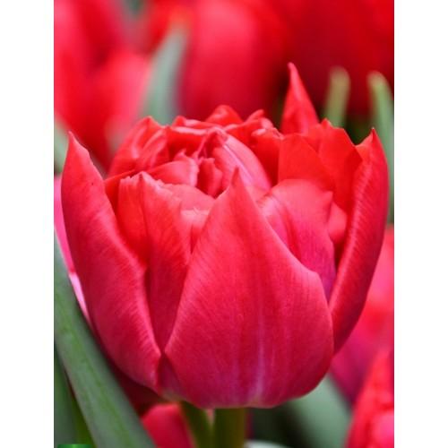 Тюльпан FIRST PRICE