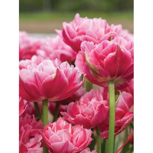 Тюльпаны VOQUE