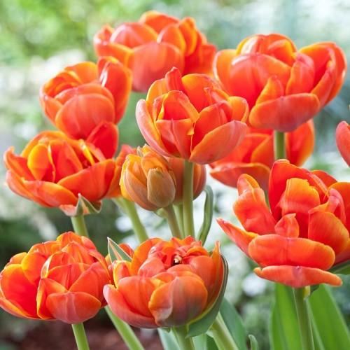 Тюльпаны Queensday