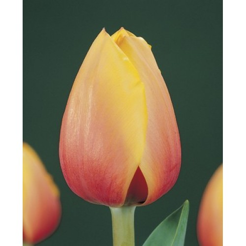 Тюльпан Marit (Марит)