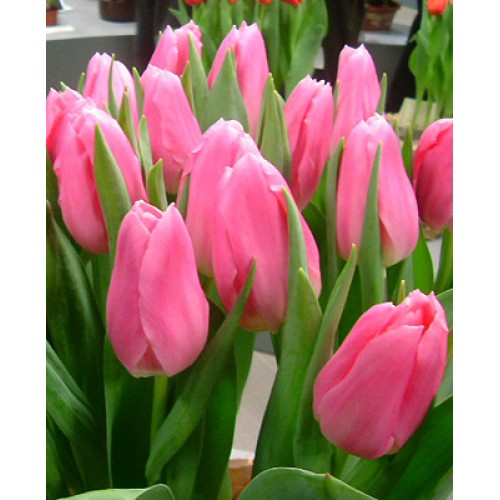 Тюльпаны Matchmaker (Матчмейкер)