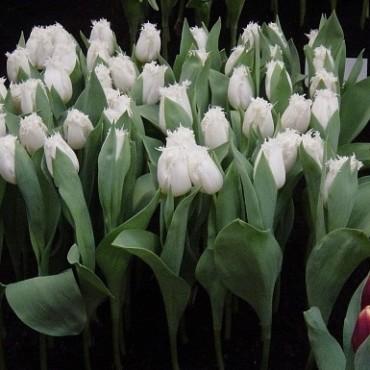 Тюльпан North Pole (Норт Поул)