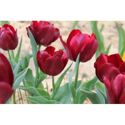 Тюльпаны Pallada (Паллада)