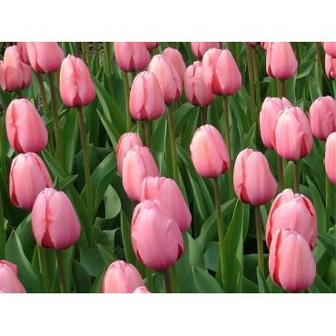 Тюльпан Pink Impression (Пинк Импрешн)