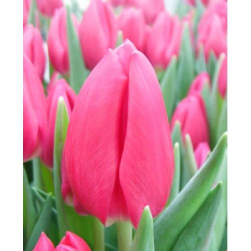 Тюльпан Pink Ardour (Пинк Ардор)