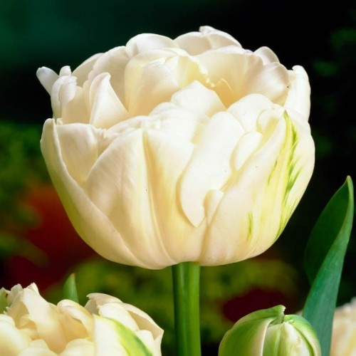 Тюльпан Avant Garde (Аван Гард)