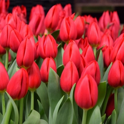 Тюльпаны Red Hot (Ред Хот)