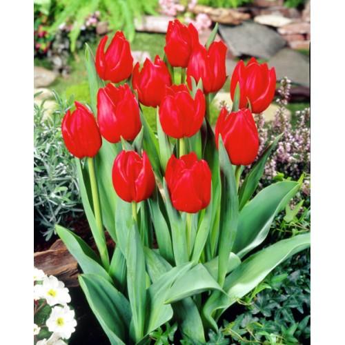 Тюльпаны Red Power (Ред Пауер)