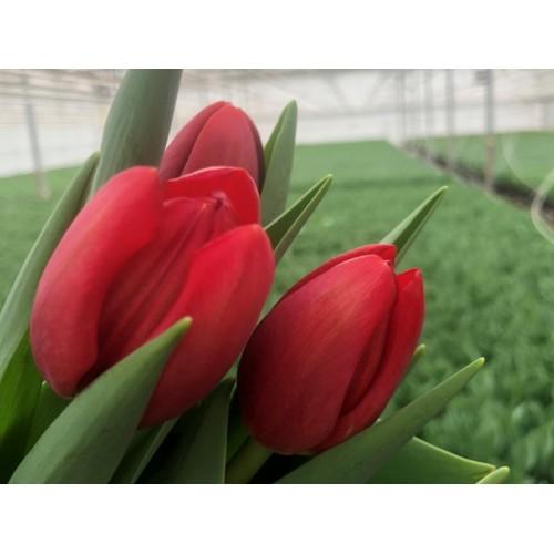 Тюльпаны Rescue (Рескью)