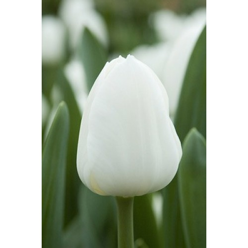 Тюльпан Royal Virgin (Роял Вирджин)