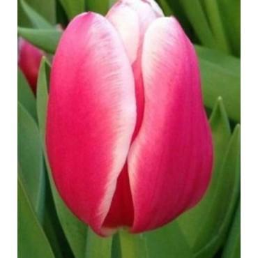 Тюльпан Supermodel (Супермодель)
