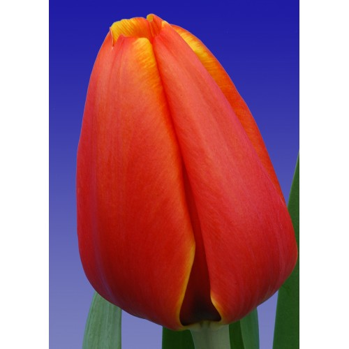 Тюльпан Triple A (Трипл А)