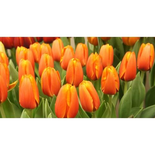 Тюльпан TRIPLE A
