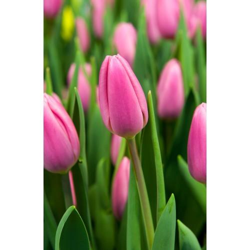 Тюльпан SWEET TELLE