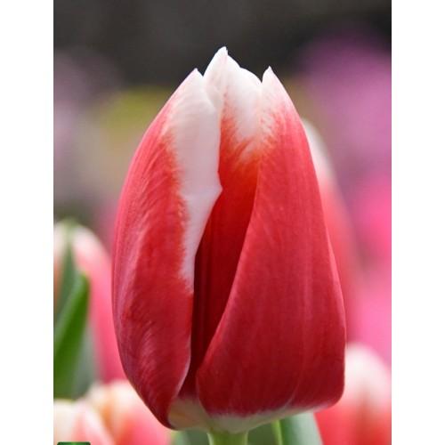 Тюльпан LECH WALESA