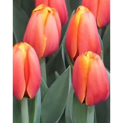 Тюльпаны Triple A (Трипл А)