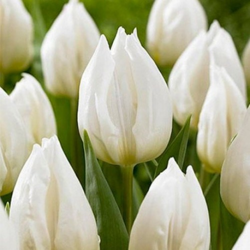 Тюльпаны White Prince (Вайт Принцесс)