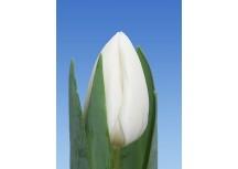 Тюльпан White Master (Уайт Мастер)