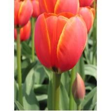 Тюльпан World S Favourite (Ворд Фаворит)