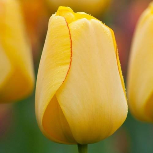 Тюльпаны Yellow Master (Елоу Мастер)