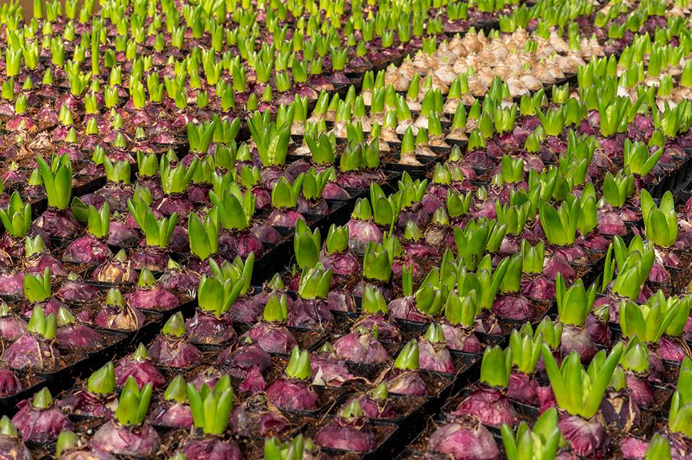 Луковицы цветов